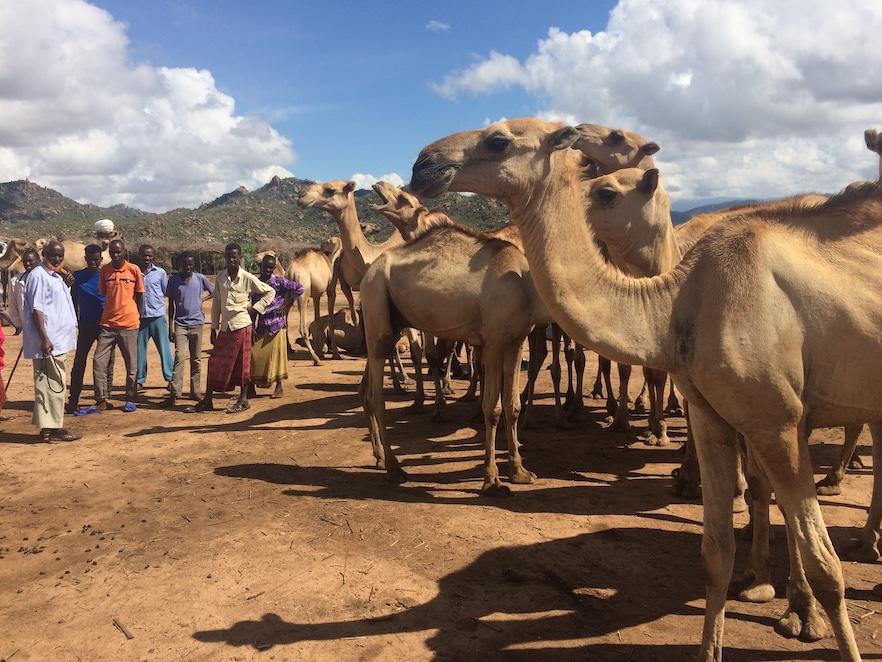 CamelMarket-Harar